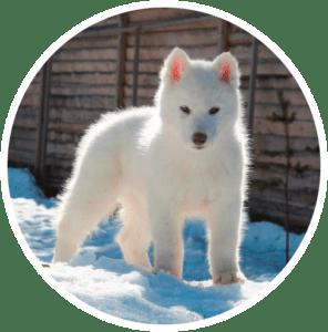 Husky Siberiano Blanco - Bavivizarri de cachorro