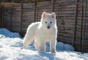 Bavivizari Absolute Winner - Husky Siberiano Blanco cachorro
