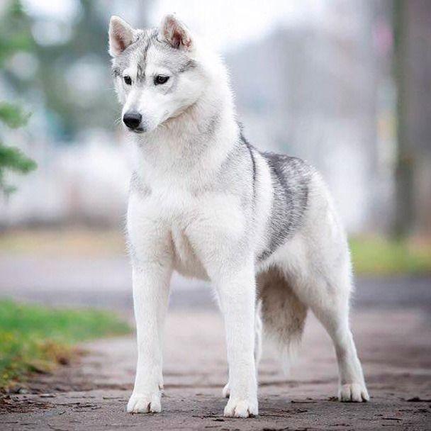 Coco Shanel hembra husky Siberiano