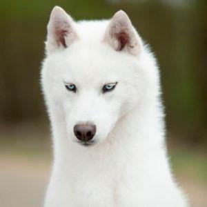 Nuuc semental husky Blanco