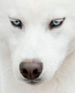 Los ojos azules del Husky Siberiano