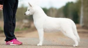 Nuuc Semental macho Husky Blanco