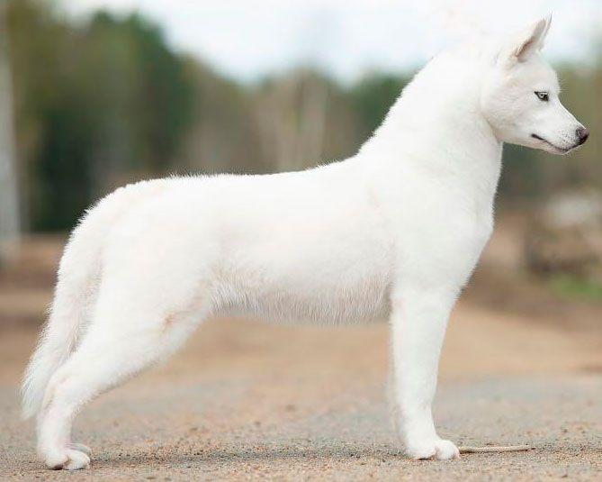 Atapaski Nuuc Semental - Ejemplar macho de husky siberiano blanco