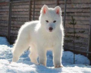 Bavivizari Absolute Winner -Ejemplar Macho de husky Siberiano Blanco