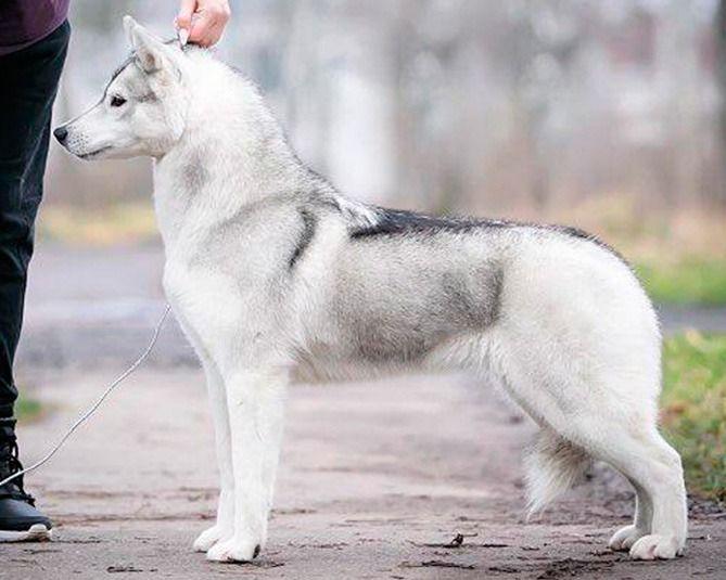 Coco Shanel - Semental hembra husky