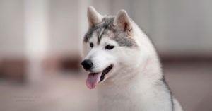 Semental hembra de husky siberiano