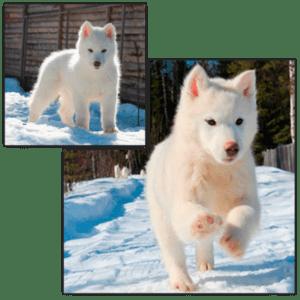 Montaje cachorro blanco husky siberiano