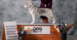 Semental Husky Siberiano Champion Rusia Best of breed