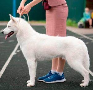 Atapaski Nuuc Semental - Husky siberiano macho blanco