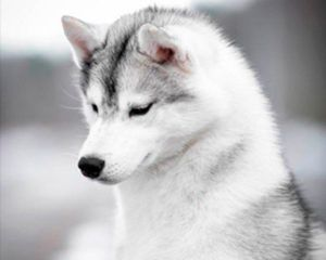 Atapaski Riana - Mirada fija de husky siberiano