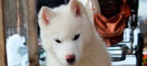 Cabeza husky siberiano blanco Bavivizari