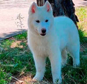Bavivizari Absolute Winner - Semental Husky blanco