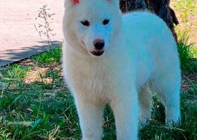 Bavivizari Absolute Winner - Semental Husky blanco