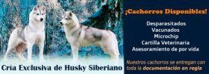 Cachorros Husky Siberiano disponibles