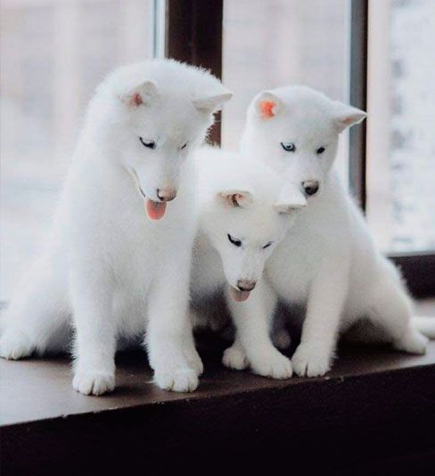 Cachorros husky blanco
