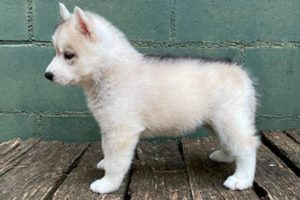 Cachorro Husky 1