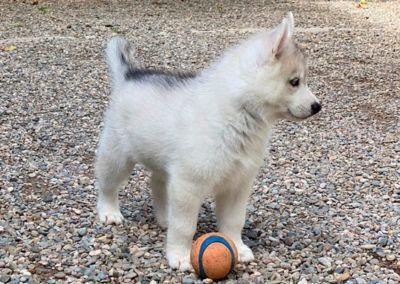 Cachorro Husky 2