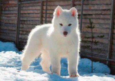 Cachorro Husky 3