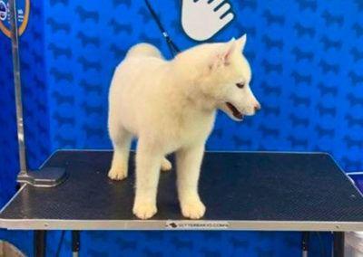 Cachorro Husky 4