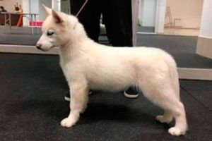 Cachorro Husky 5