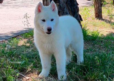 Cachorro Husky 7