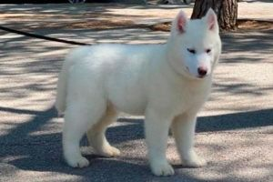 Cachorro Husky 8
