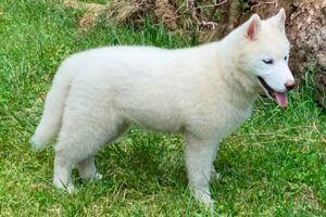 Cachorro Husky 9