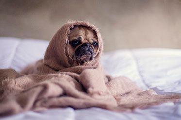 Carlino arropado con una manta