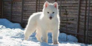Cachorro de husky siberiano blanco en la nieve
