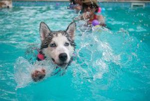 Husky en la piscina