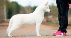 Atapaski Nuuc Semental - Semental husky siberiano blanco