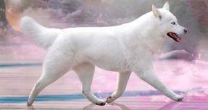 Severnaya Luna Pervyi Sneg - Husky Blanca