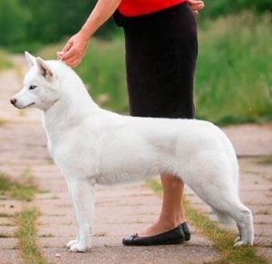 Severnaya Luna Pervyi Sneg - Hembra Husky blanca
