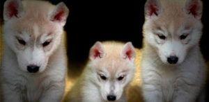 Cachorros husky