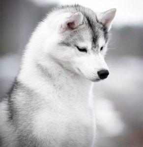 Atapasky Riana - husky siberiano hembra gris y blanco