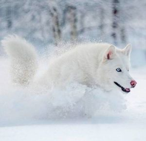 Zherom white bear - Husky siberiano blanco