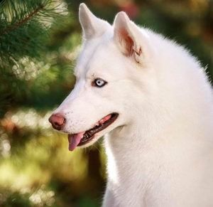 Zherom white bear