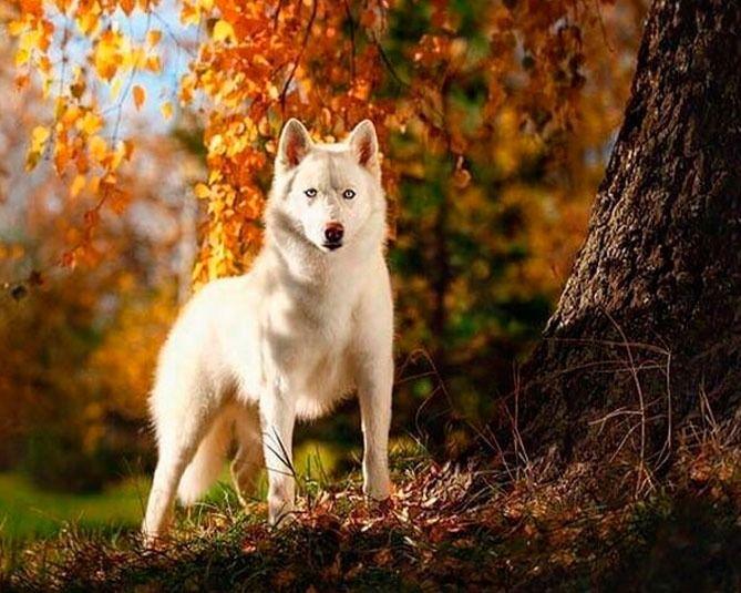 Zherom White Bear - Semental macho husky siberiano blanco