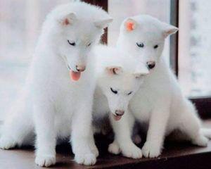 Camadas de cachorros de husky siberiano