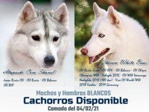 Cachorros de husky siberiano - Cruce Zheron & Shanel