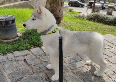 Cachorro de husky siberian blanco con correa