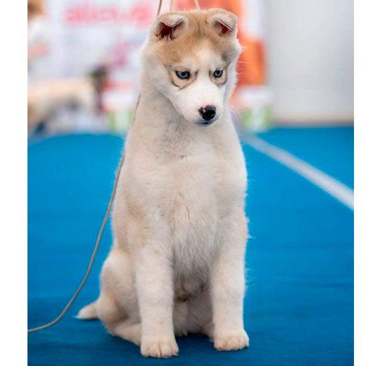 cachorro exposición husky siberiano
