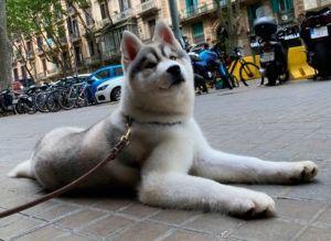 Cachorro husky siberiano 5 meses