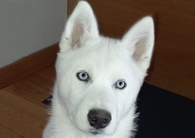 Cara husky siberiano ojos azules