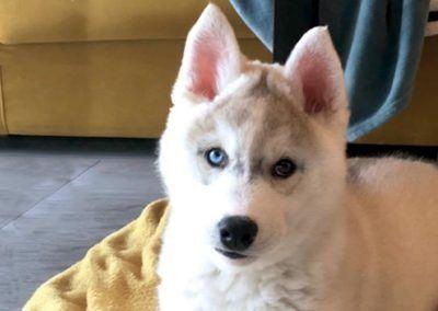Cachorro de husky ojos bicolor