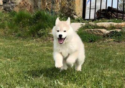 Cachorro Husky siberiano saltando