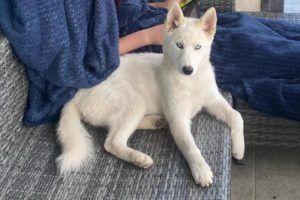 Cachorro Husky siberiano blanco con ojos azules tumbado