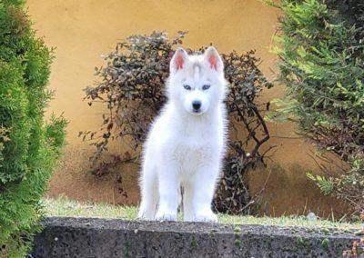 Cachorro husky blanco en el jardin