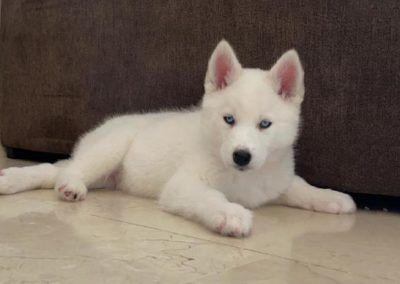 Cachorro Husky siberiano tumbado