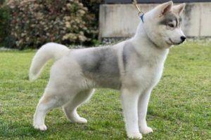 Cachorro husky siberiano gris y blanco en el jardin